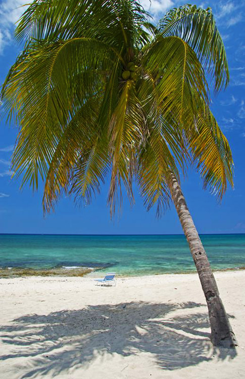 Large palm tree leans toward the sea